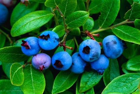 Blueberryalamy_468x313